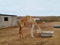 En ung arabisk kamel eller dromedar i en paddock Arkivfoton