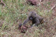 En ung babian som söker efter mat Royaltyfri Foto