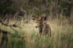 En ung bock för mulahjortar går långsamt till och med gräset Arkivbild
