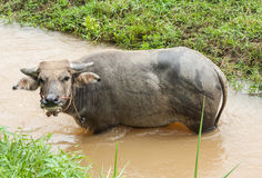 En ung buffel som äter något, gräs Arkivfoton