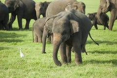 En ung elefant i en flock Arkivfoton