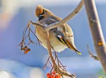 Den ljusa fågelwaxwingen på en rönn förgrena sig med det rött Royaltyfria Bilder