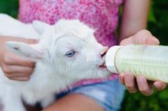 En ung flicka matar en nyfödd get med mjölkar från en flaska med baby'sens attrapp royaltyfria bilder