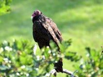 En ung gam som torkar dess fjädrar i morgonsolen Arkivbild