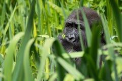 En ung gorilla för västra lågland som matar på Bristol Zoo, UK arkivfoto