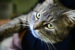 En ung grå katt ligger på händerna av dess ägare Husdjuret vilar arkivbilder
