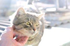 En ung grå katt tycker om vägen som hans hals skrapas En mänsklig hand slår halsen av ett husdjur fotografering för bildbyråer