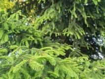 En ung granfilial och ett moget träd Arkivfoton
