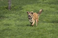 En ung guld- hund på vilar royaltyfria foton