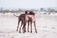 Två som kramar på strandhundkapplöpning Royaltyfri Foto