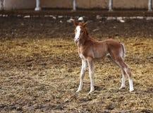 En ung häst arkivbild