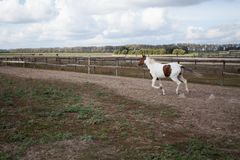En ung häst som kör i ett stall på en galopp arkivbild
