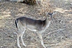 En ung hjort Royaltyfri Bild