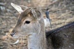 En ung hjort Arkivbilder