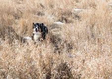 En ung hund för det Bernese berget hoppar Royaltyfri Bild