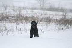 En ung jätte- schnauzer står i ett fält i vinter Hon är det spända anseendet och blickar på fotografen arkivfoto
