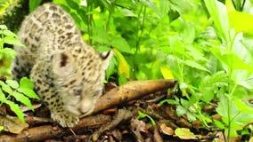 En ung jaguar stock video