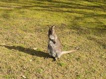 En ung känguru Arkivbilder