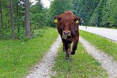 En ung ko promenerar en vandringsled bredvid vägen Royaltyfri Fotografi