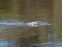 En ung krokodilsimning Träd från banken reflekteras i vattnet Arkivfoton