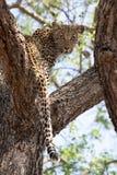 En ung kvinnlig leopard som tillbaka inifrån ser ett knobthronträd arkivbilder