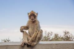 En ung macaque på Gibraltar vaggar Royaltyfria Bilder