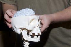 En ung man rymmer en modell av en mänsklig skalle i hans händer En modell av hjärnan är synlig Arkivbilder