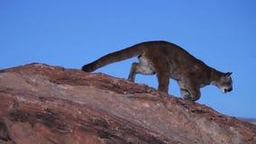 En ung puma hoppar uppifrån av en stenblock till andra