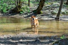 En ung röd hund av det Siba Inu avelanseendet i en skogflod och att se behagfullt framåtriktat, naturlig bakgrund arkivbild