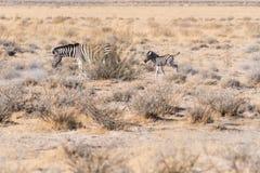 En ung sebra som följer dess mamma i den Etosha nationalparken, Namibia arkivfoton