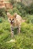 En ung serval som visar hans skarpa tänder Royaltyfri Bild