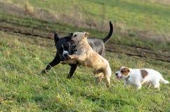 En ung skämtsam hundJack Russell terrier kör ängen i höst med en annan stor hund Royaltyfria Foton
