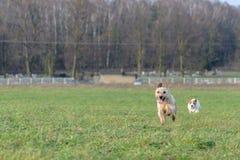 En ung skämtsam hundJack Russell terrier kör ängen i höst med en annan stor hund Royaltyfri Fotografi