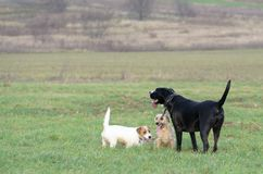 En ung skämtsam hundJack Russell terrier kör ängen i höst med en annan stor hund Arkivbilder