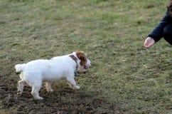 En ung skämtsam hundJack Russell terrier kör ängen i höst med en annan stor hund Royaltyfri Foto