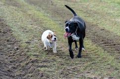 En ung skämtsam hundJack Russell terrier kör ängen i höst med en annan stor hund Arkivfoton
