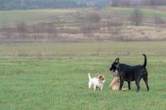 En ung skämtsam hundJack Russell terrier kör ängen i höst med en annan stor hund Royaltyfria Bilder