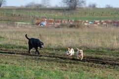 En ung skämtsam hundJack Russell terrier kör ängen i höst med en annan stor svart hund Arkivbilder