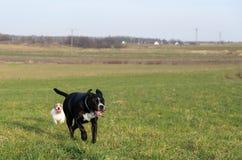 En ung skämtsam hundJack Russell terrier kör ängen i höst med en annan stor svart hund Fotografering för Bildbyråer