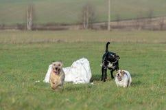 En ung skämtsam hundJack Russell terrier kör ängen i höst med en annan stor svart hund Royaltyfria Foton