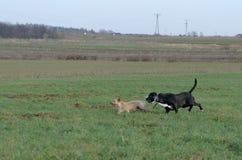 En ung skämtsam hundJack Russell terrier kör ängen i höst med en annan stor svart hund Arkivfoton