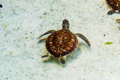 En ung sköldpadda Arkivbilder