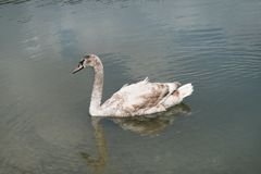 En ung svan är en muta i Abrau-Durso sjön Royaltyfria Foton