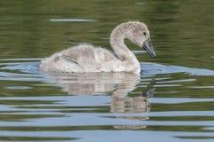 En ung svan på gemensamma Southampton Fotografering för Bildbyråer