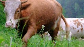 En ung tjur går förbi den lämnade kameran från rakt till Koskrubbs?r i ?ngen N?rbild Gräs, blommor och kryp arkivfilmer