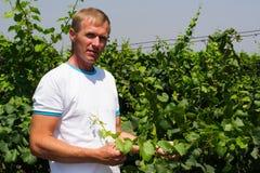 En ung vingård Arkivfoto