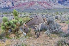 Wild burros Royaltyfri Bild
