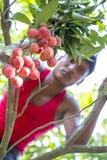 En unge plockar litchiplommonet från ett träd på ranisonkoil som är thakurgoan, Bangladesh Arkivfoto