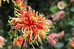 En unik blomma med två färger av rött och gult Arkivbild