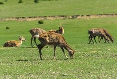 En unik period av rugga hjortar Hjorten förlorar dess hår Det sta fotografering för bildbyråer